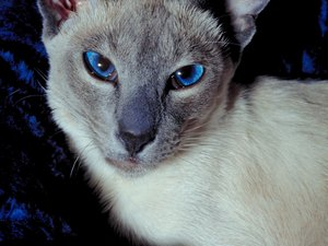 Anxiety in Siamese Cats
