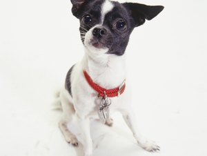 Why Do Chihuahuas Growl & Bite?