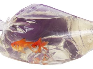 How Long to Let a Goldfish Bag Sit in New Water