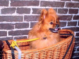 What Is the Personality of a Pomeranian?