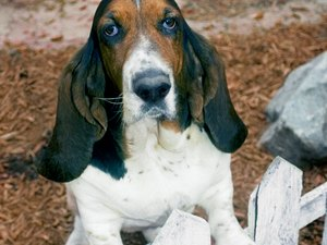 Do Basset Hounds Need Their Anal Glands Expressed?