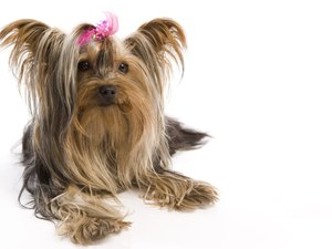 Taking Care of Shih Tzus & Yorkies
