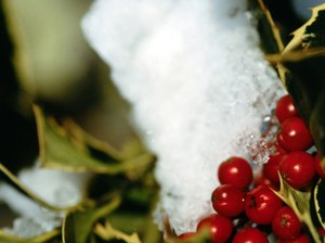 What are the Symptoms if a Cat Eats a Holly Berry?