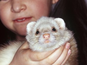 How Long Do Pet Ferrets Live?