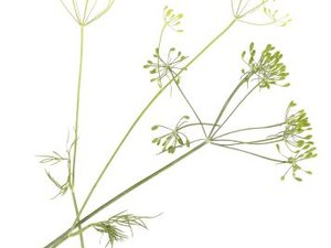 The Benefits of Anise Herbs