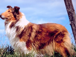 A Rough Collie and General Anesthesia