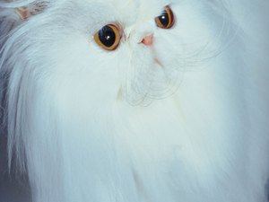 Description of a White Persian Cat