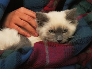 Recommended Painkiller for Cats After Spaying