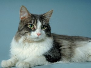 What Is Fibrosarcoma in Cats?