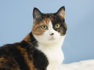 Uncontrolled Hyperthyroidism in Cats