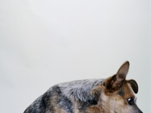 How to Exercise a Cattle Dog