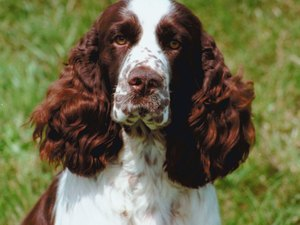 Grooming a Springer Spaniel Dog