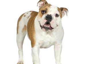 Training Staffordshire Bull Terriers and American Bulldog Mixes