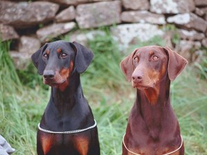 How to Train a Doberman Pinscher to Follow a Scent
