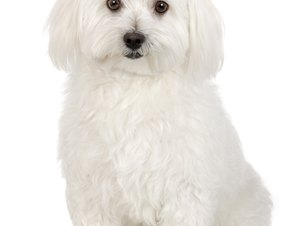 White Shaker Disease in a Bichon Frise