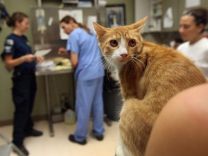 Neutered Cat Surgery Recovery & Cat Litter