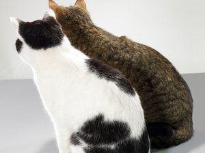 Problems with Ruptured Discs in Cats