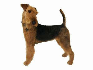 How to Keep an Airedale From Being Bored
