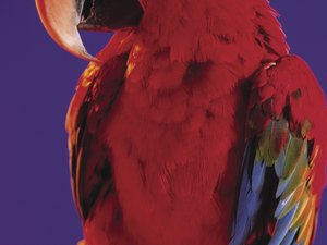 How Can I Stop My Parrot From Screaming at My Husband?