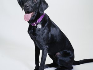 Tips for Bathing Black Labradors