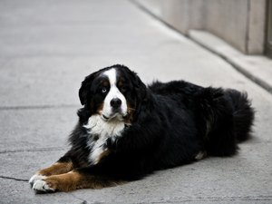 How to Train a Bernese Mountain Dog to Jump Over a Hurdle