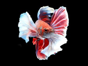 Bottom feeders that are good with neon tetra fish pets for Fish that get along with betta