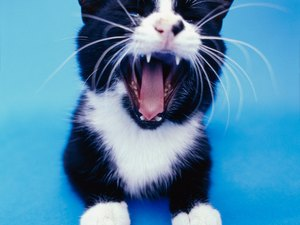 Does the Cat Have a Uvula?