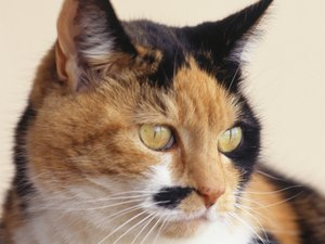 Do Calico Cats Get More Diabetes?