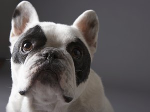 What Is a Frenchy Dog?