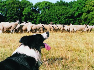 How to See if a Dog Likes Herding