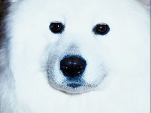 How to Remove Samoyed Fur Discoloration