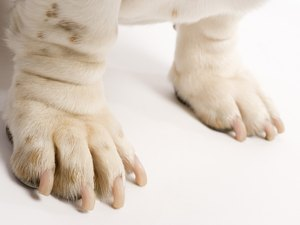 Nail Bed Infection in Dogs