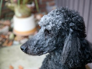 Hair Loss in Poodles
