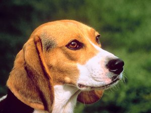 Does the Beagle Have the Best Sense of Smell?