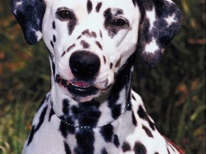 Why Do Dalmatians Have Spots?