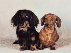 How to Care for a Miniature Dachshund Puppy