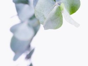 What is Eucalyptus Tea Good for?