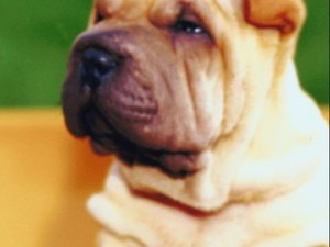 Skincare for a Chinese Shar Pei