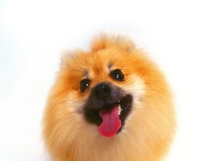 Pomeranian Tooth Care