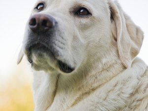 Skin Disorders of Labrador Retreivers