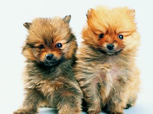 Giving Pomeranian Puppies a Bath
