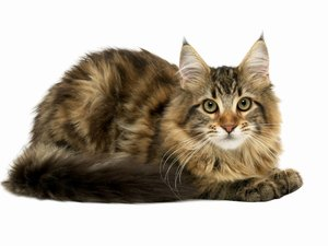 Hair Loss on the Backs of Cats