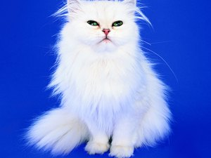 Is It True White Persian Cats With Blue Eyes Are Born Blind?