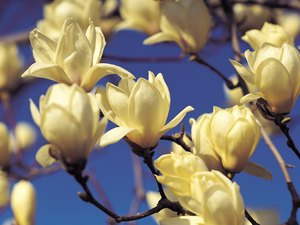 Are Magnolia Trees Poisonous to Dogs or Cats?