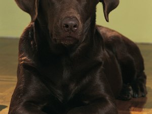 The History of Chocolate Labradors