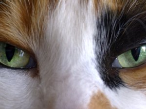 Bulging Cat Eyelids