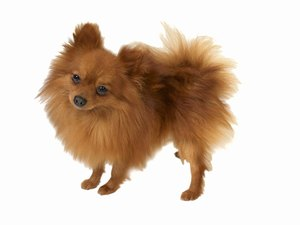 Teacup Pomeranian Nutrition