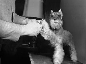 How to Groom a Schnauzer's Legs