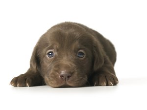 When Does a Puppy's Eyesight Improve?