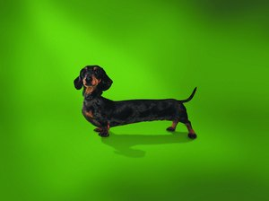 Spinal Therapy for Dachshunds